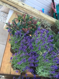 Lavender and Skimmia ready for planting